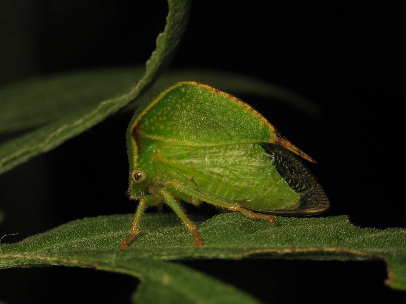 Цикадка: виды вредителей и способы борьбы