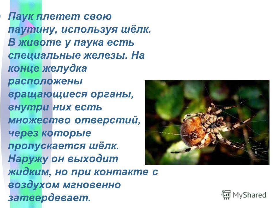 Как паук плетет паутину, откуда берется паутинный шелк?