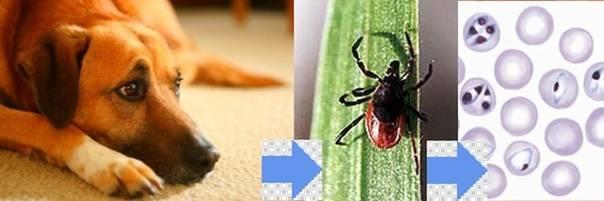 Симптомы и лечение эрлихиоза у собак