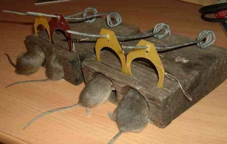 Ловушки для мышей, какую выбрать для эффективного избавления от грызунов 2021