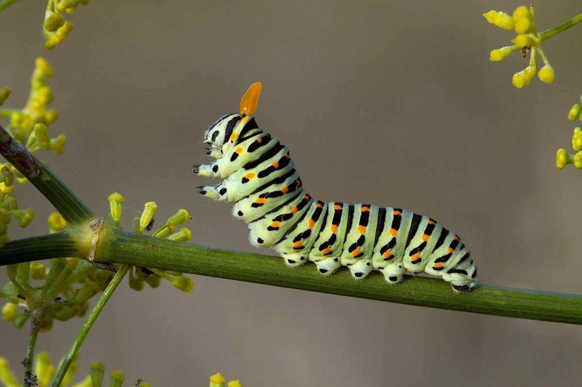 Гусеница махаона – фото и описание