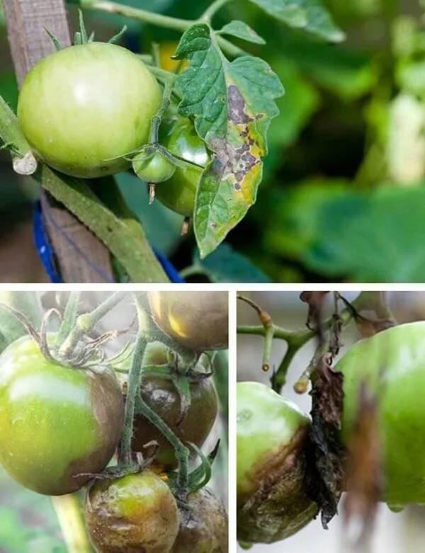 Как бороться с белокрылкой (белой мошкой) на рассаде томатов народными средствами