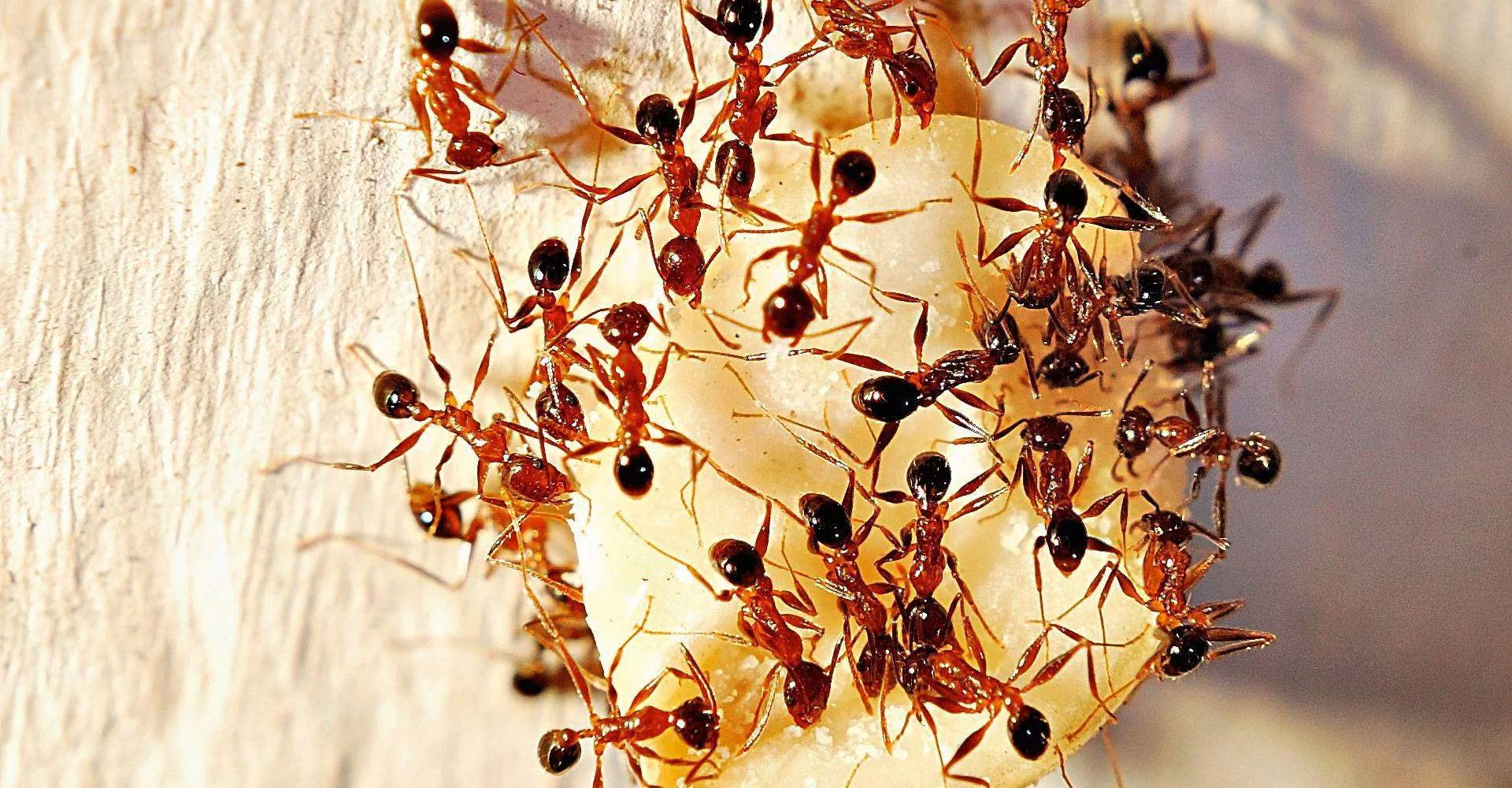 Рыжие муравьи в квартире - как избавиться в домашних условиях, выбор средств