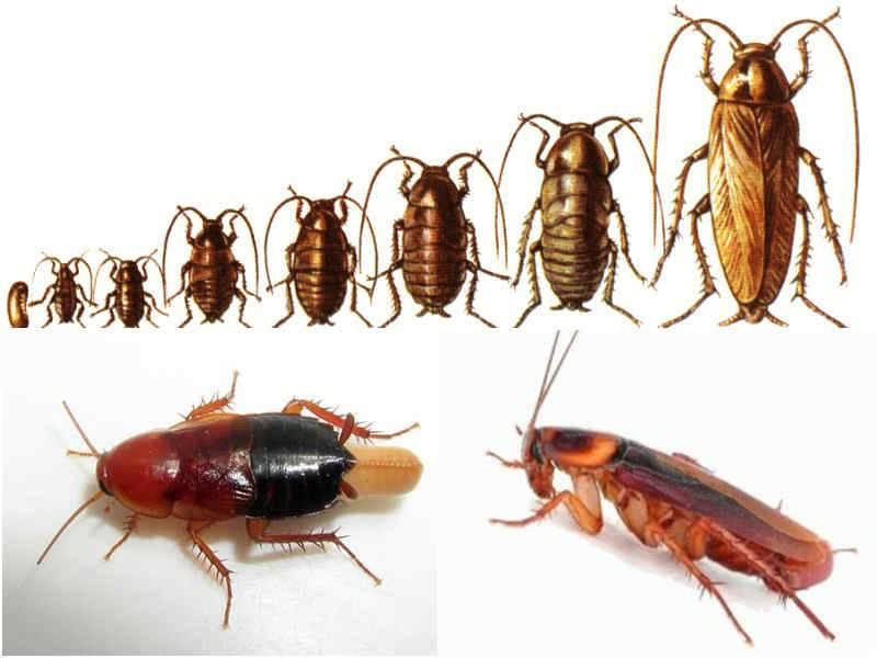 Рыжий таракан прусак - фото и описание