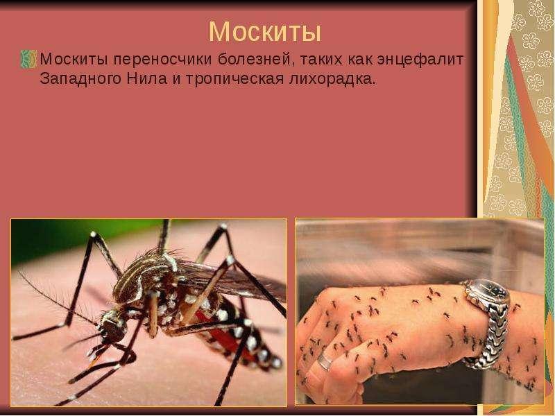 Что делать при укусе москита. москиты: фото и описание опасного человеческого врага виды москитов, места обитания москитов