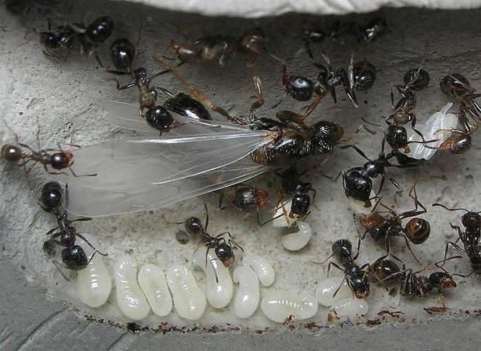 Внешний вид и обязанности муравьиной матки