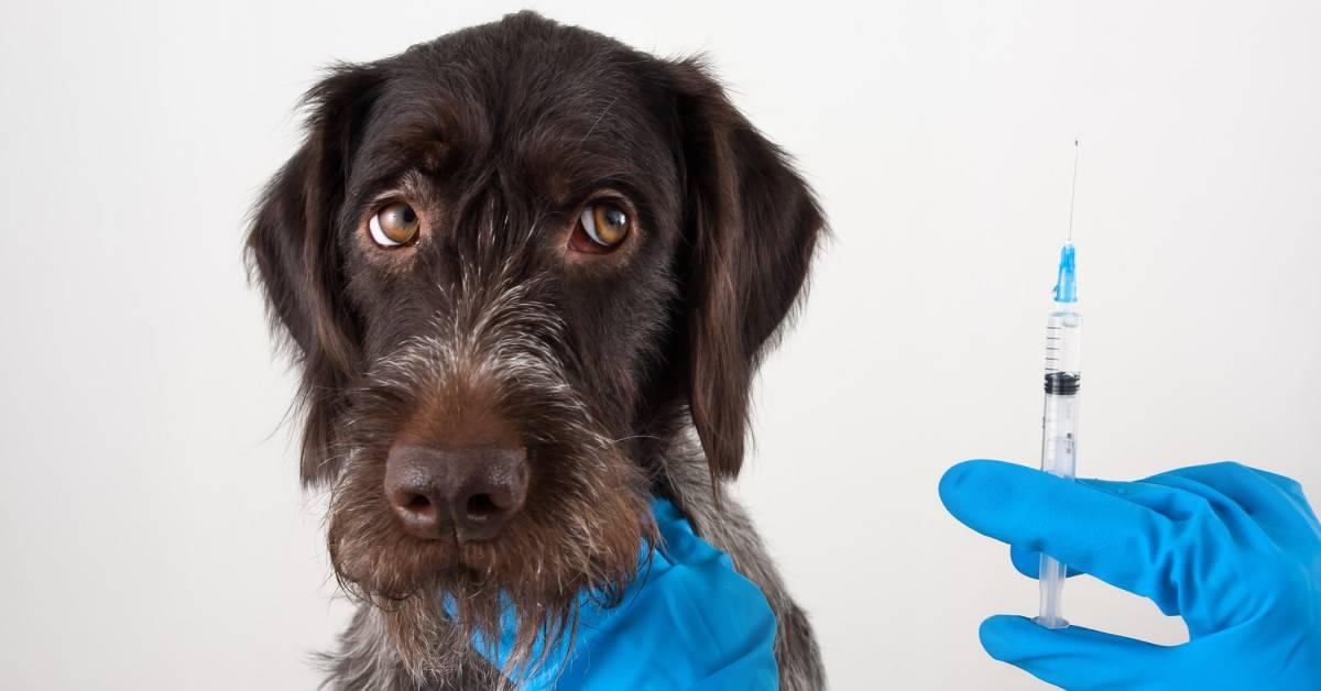 Вакцинация собак от клещей