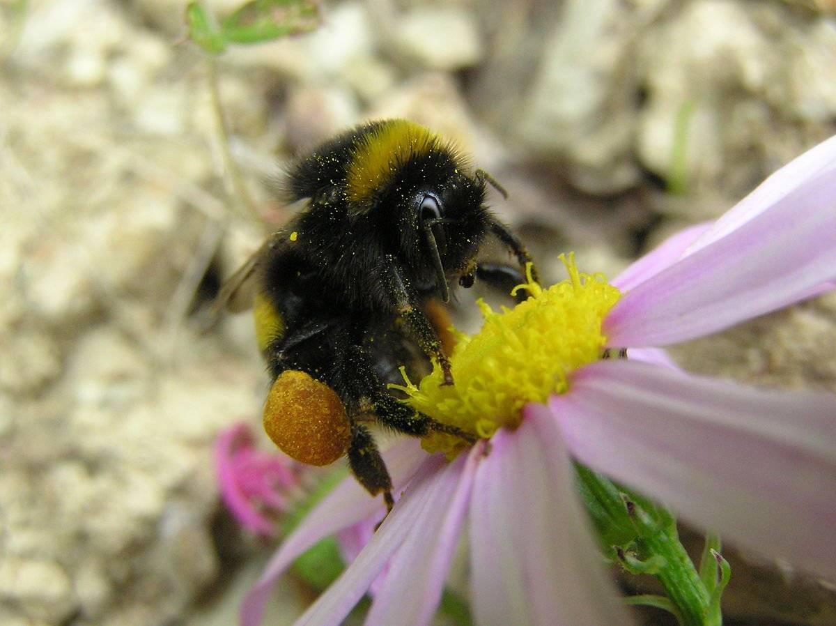 Шмель и пчела - какие отличия в образе жизни, питании, размножении