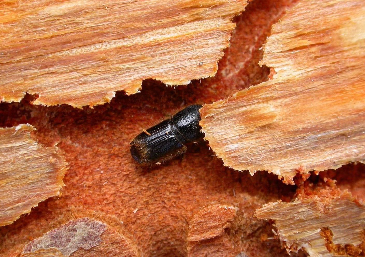 Как избавиться от шашеля в доме из дерева - уничтожение вредителей