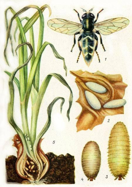 Как бороться с луковой мухой - народные способы уберечь урожай