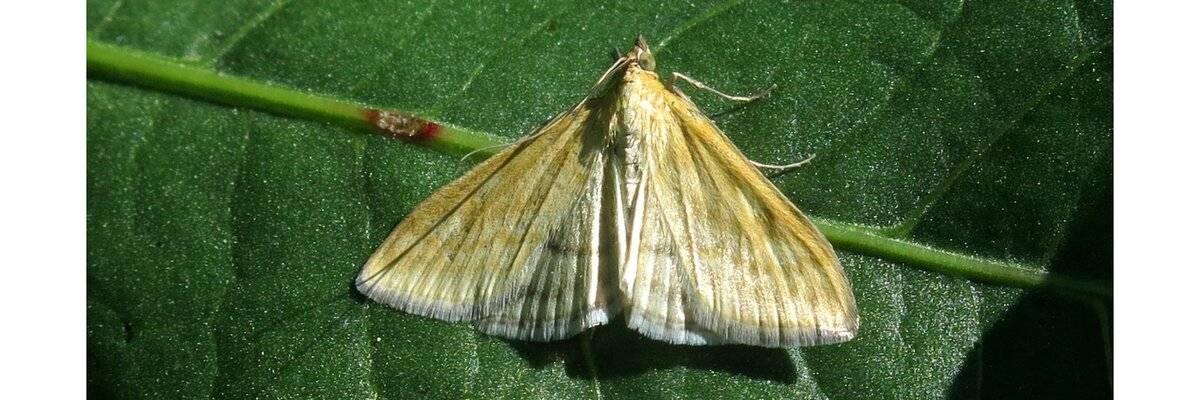 Чем опасен луговой мотылек. самая крупная ночная бабочка в мире