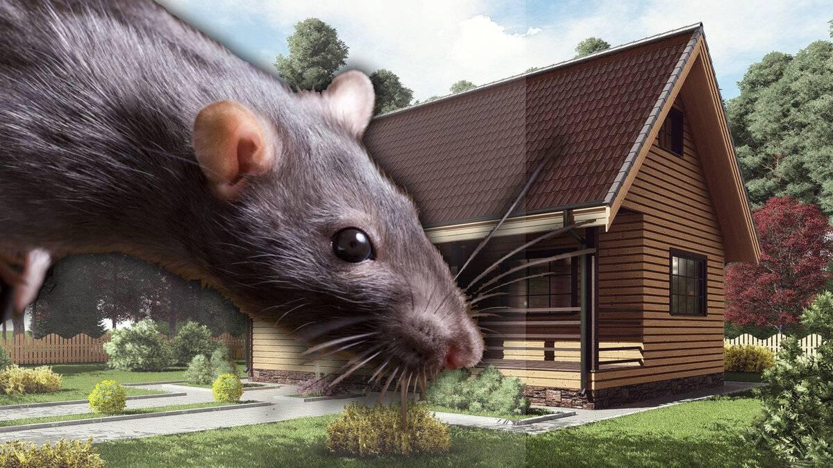 Как избавиться от мышей дома – проверенные советы