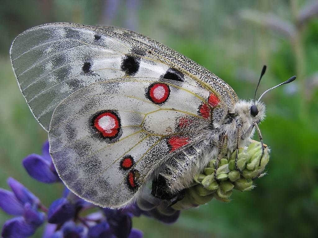 Аполлон (бабочка)