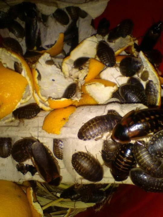 Содержание мраморных тараканов в домашних условиях
