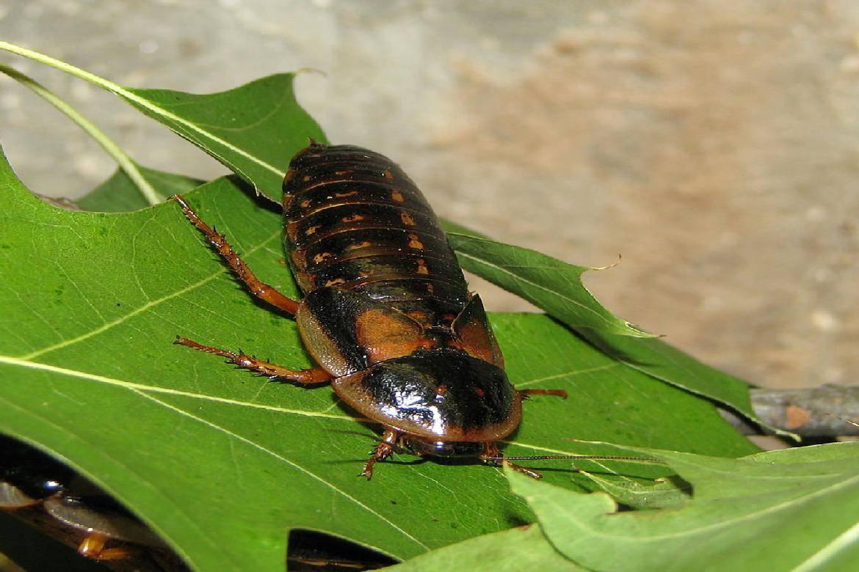 Сколько может прожить таракан без воды и еды