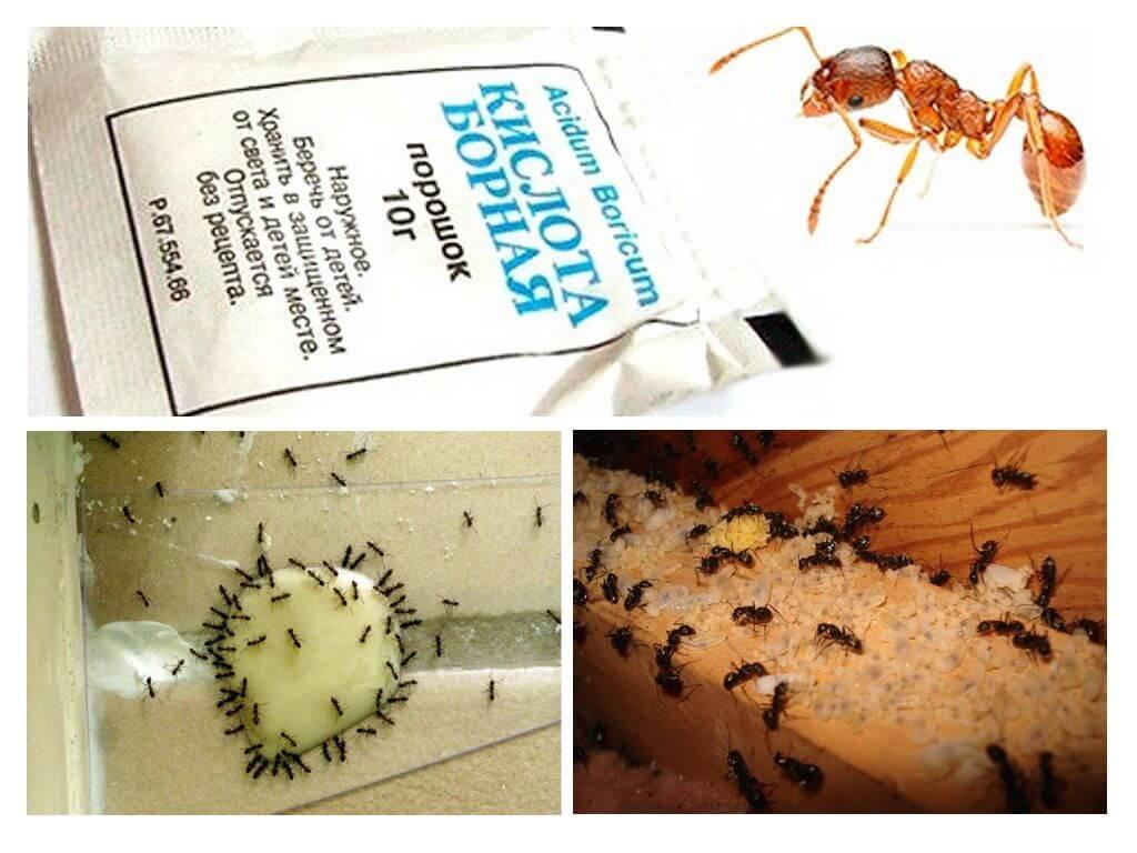 Борная кислота от муравьев и тараканов - четыре базовых рецепта