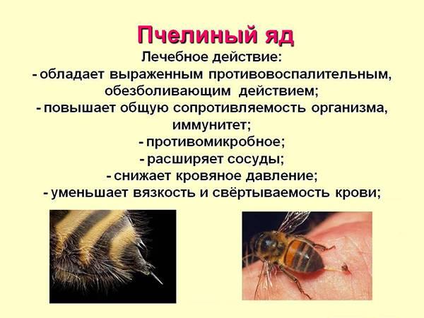 Укус пчелы - польза или вред