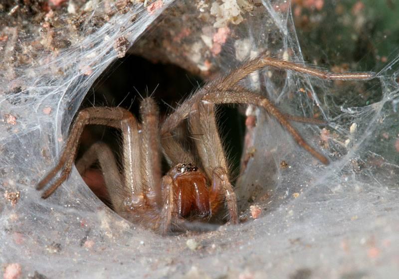 Каракурт паук: описание,фото,размножение,питание,укус,среда обитания | аквариумные рыбки