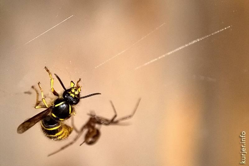 Черные осы: насколько они опасны, методы борьбы, места обитания, истребительницы пауков
