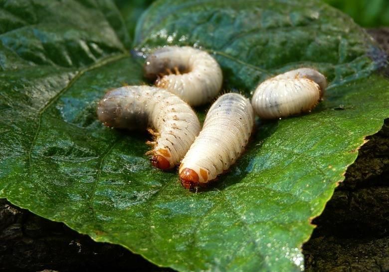 Как бороться с личинками майского жука на клубнике и в огороде