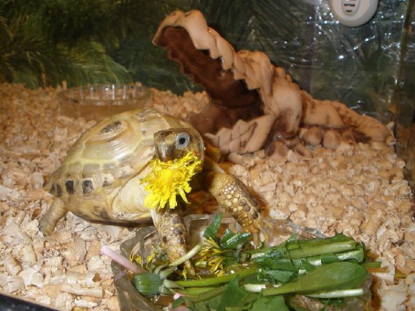 Египетский таракан: экзотика за стеклом террариума