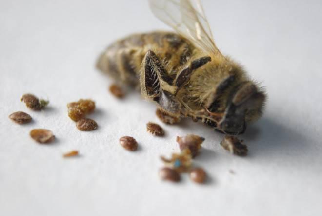 Биологическое строение и вред клеща варроа для пчел