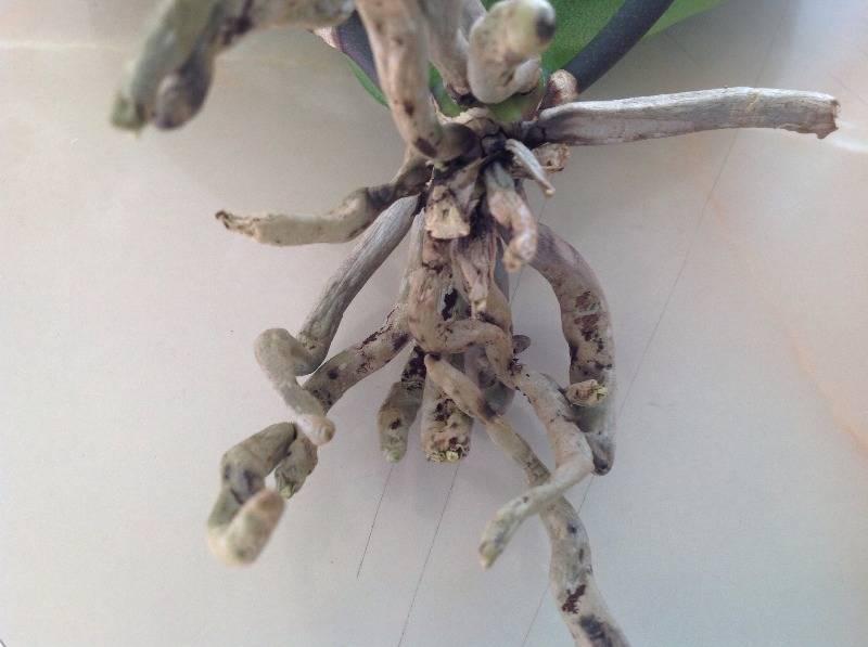 Как понять, что вашу любимую орхидею поразил клещ? фото и методы борьбы с вредителями