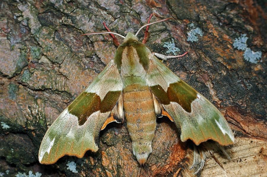 Бабочка бражник: описание с фото, причины появления, опасность