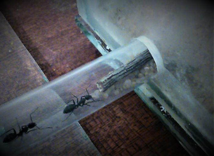 Ловушка для домашних муравьев в домашних условиях