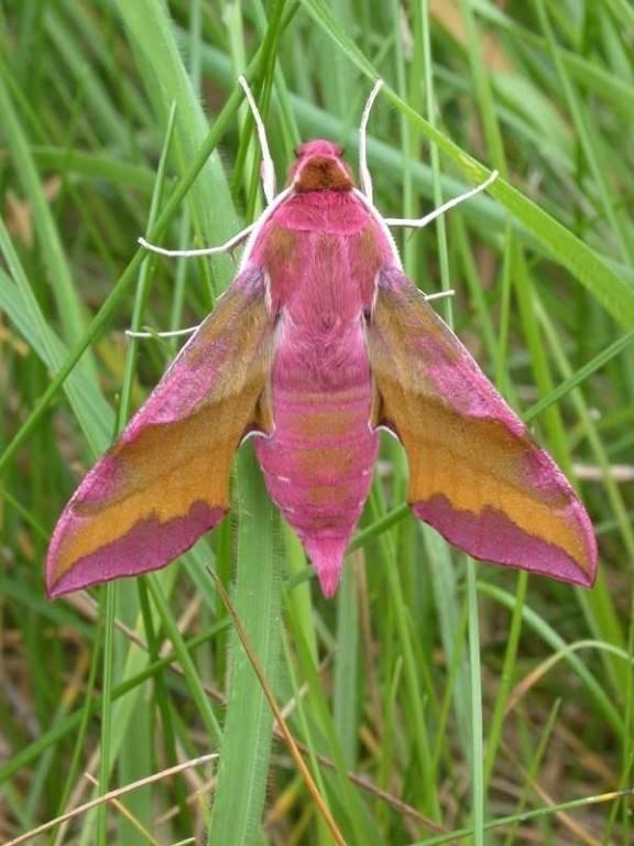 Бабочка бражник: интересные факты о северных колибри