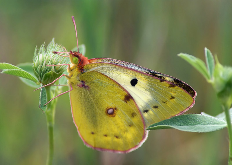 Бабочка луговая желтушка описание для детей. бабочка желтушка — описание, среда обитания, виды