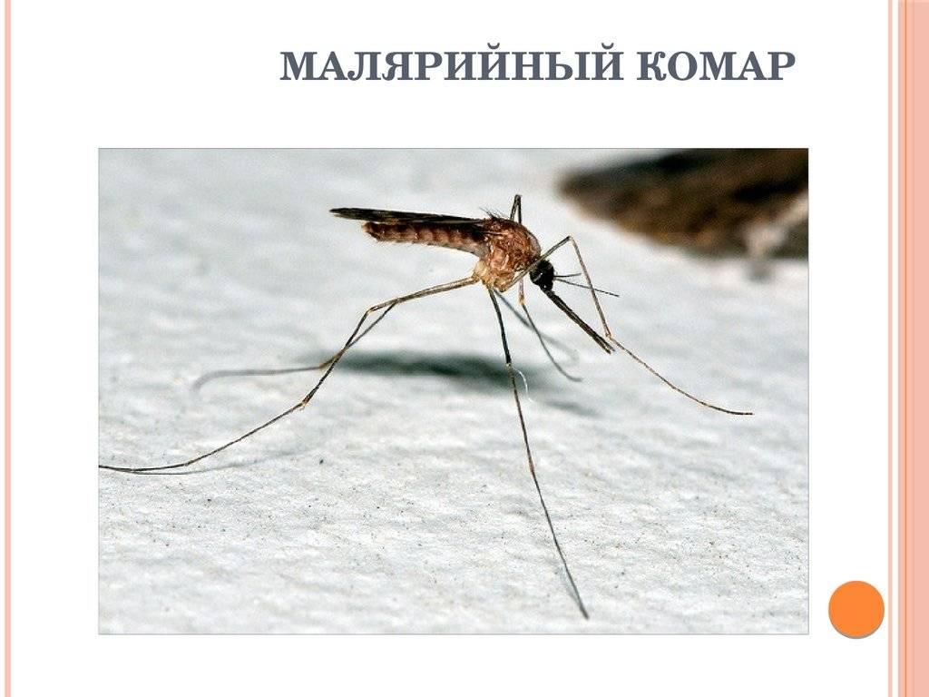 Малярийный комар — как выглядит, чем опасен