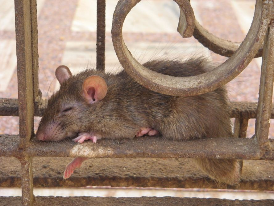 Сколько живёт домашняя крыса: при каких условиях, как содержать