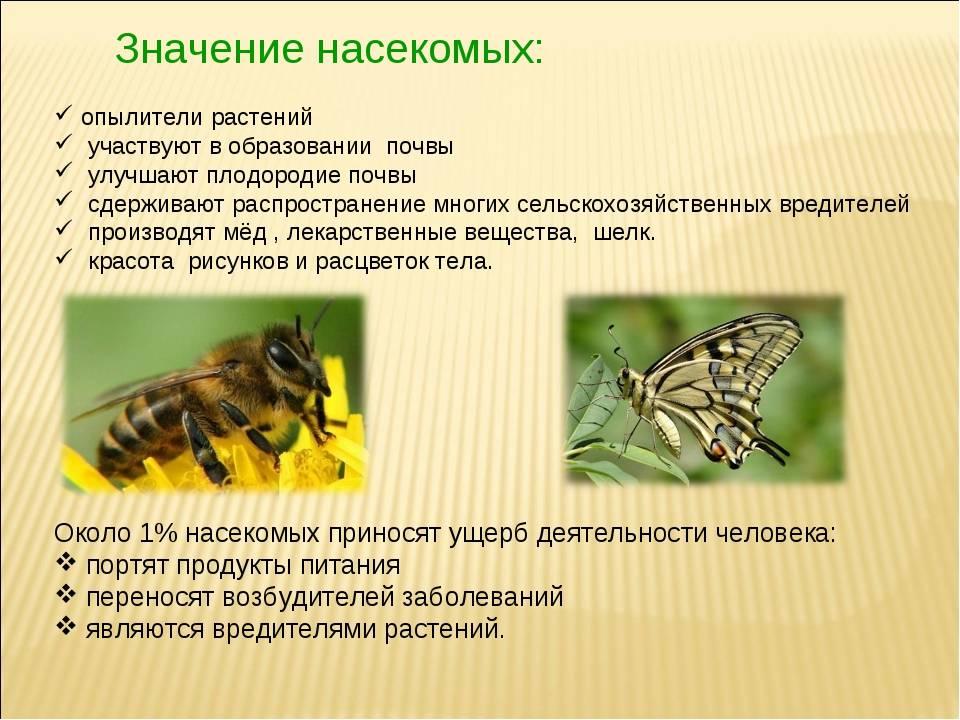 Парнопес крупный: образ жизни блестянки, защитные меры для сохранения вида