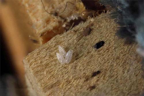 При какой температуре умирают клопы и гибнут их яйца?