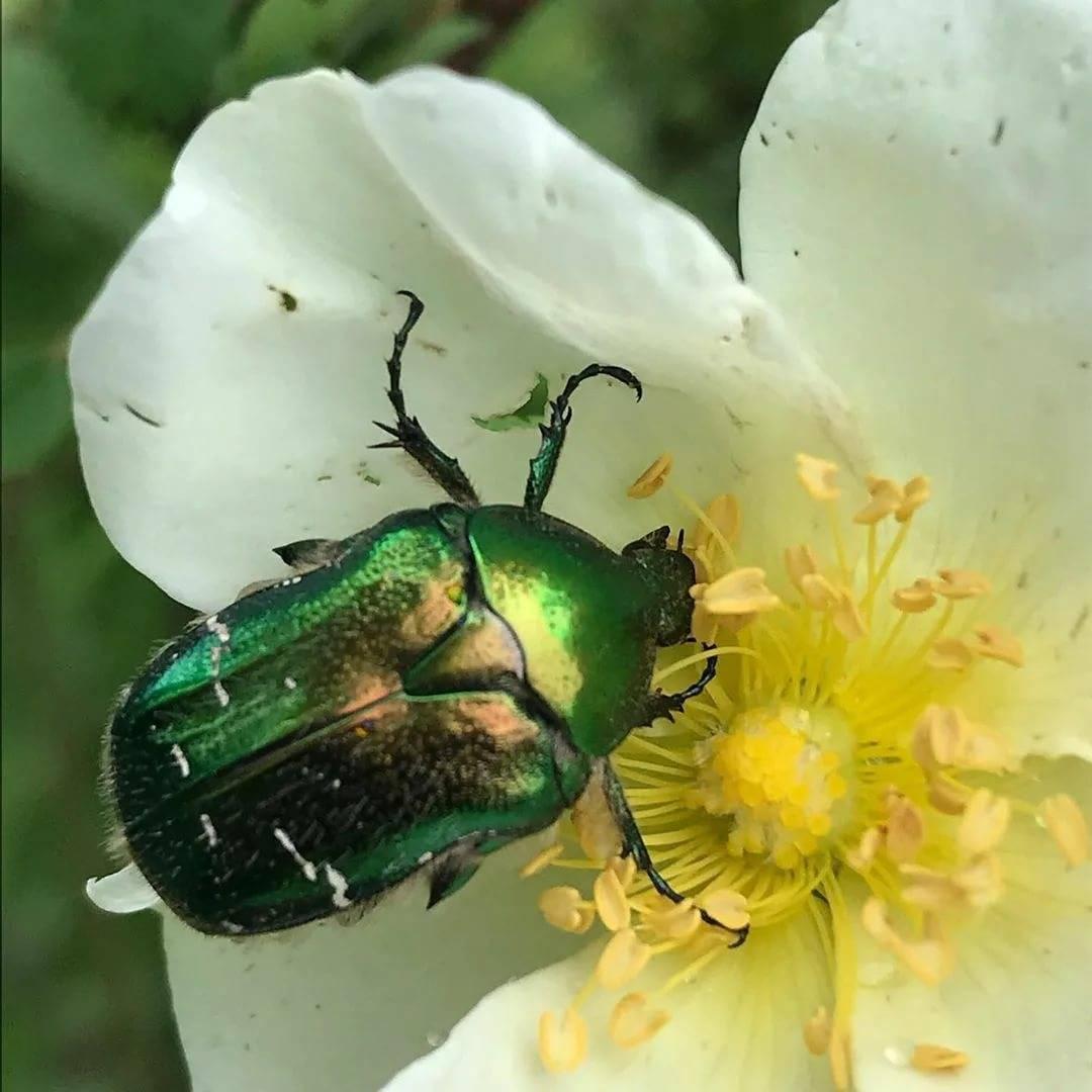 Бронзовка золотистая - большой зеленый жук, враг цветоводов