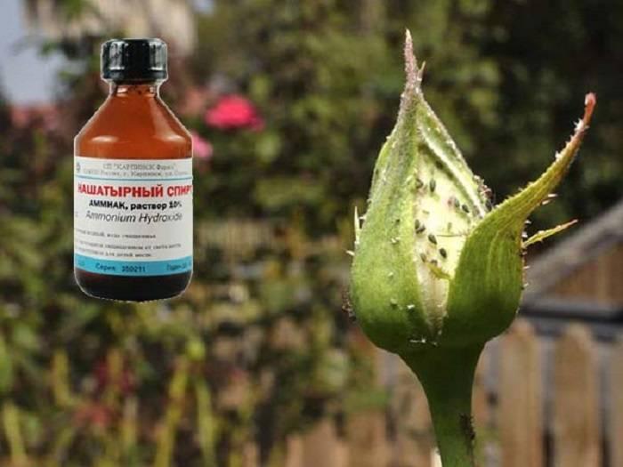 Как избавиться от тли на розах: чем обрабатывать в домашних условиях, средство
