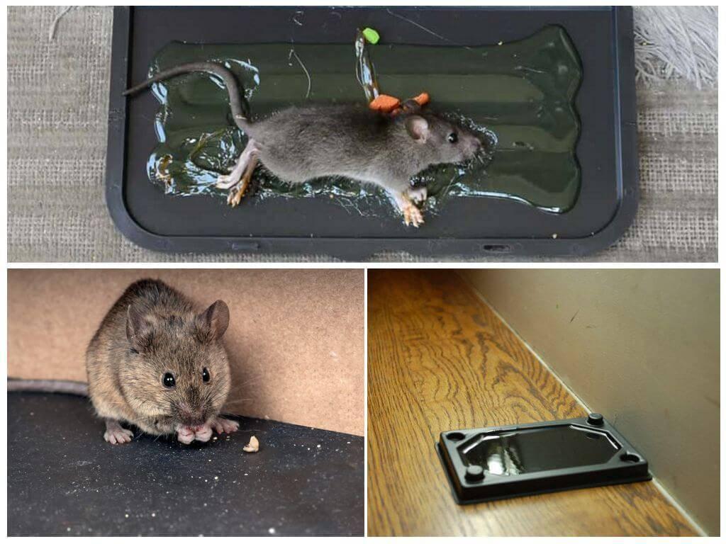 Если знать чего боятся крысы и мыши, от них избавиться получится в несколько простых шагов