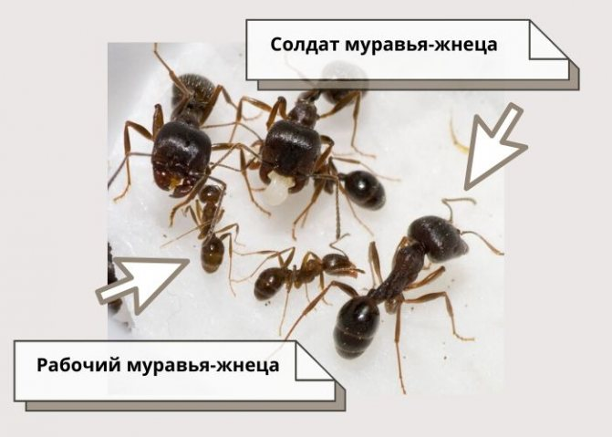 Messor structor (муравей-жнец) | клуб любителей муравьев