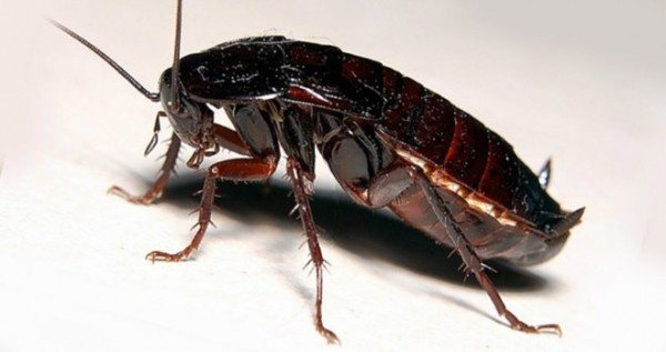 Мексиканский таракан – летающий гигант из тропиков