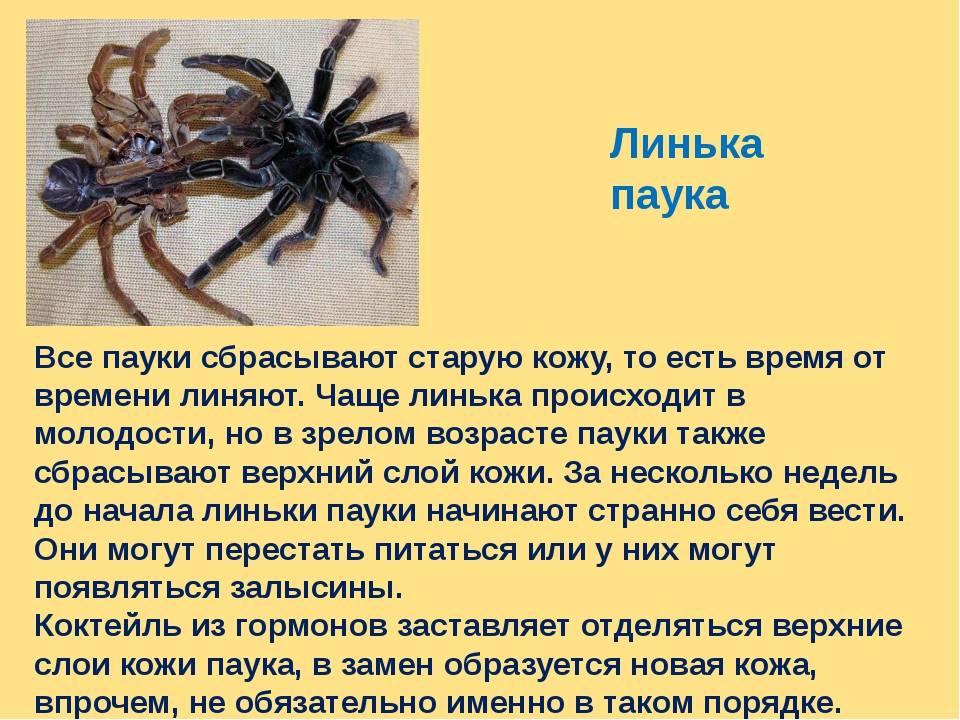 Линька паука-птицееда