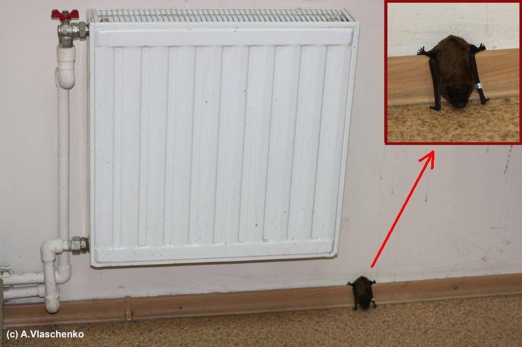 Как избавиться от летучих мышей? что делать, если летучие мыши завелись в доме или чердаке?