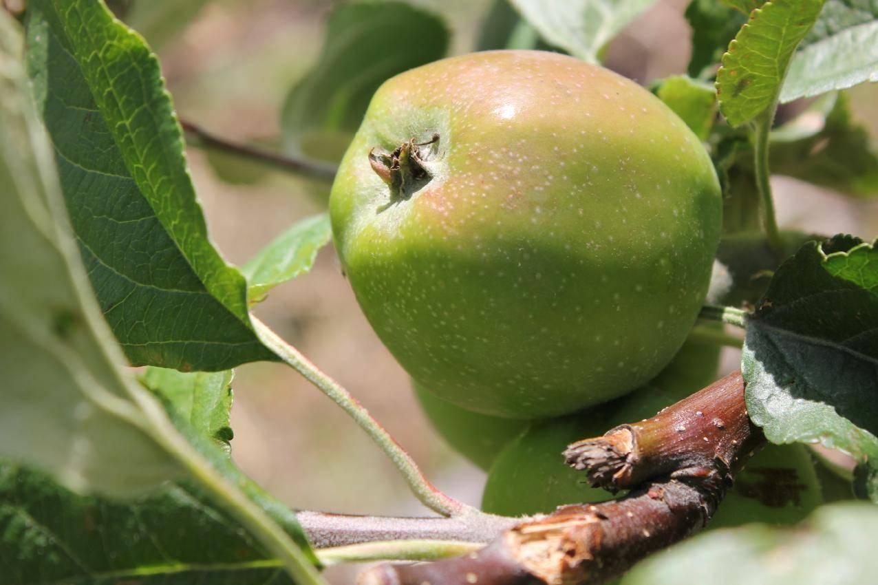 Чем обработать яблони от червей в яблоках: проверенные способы