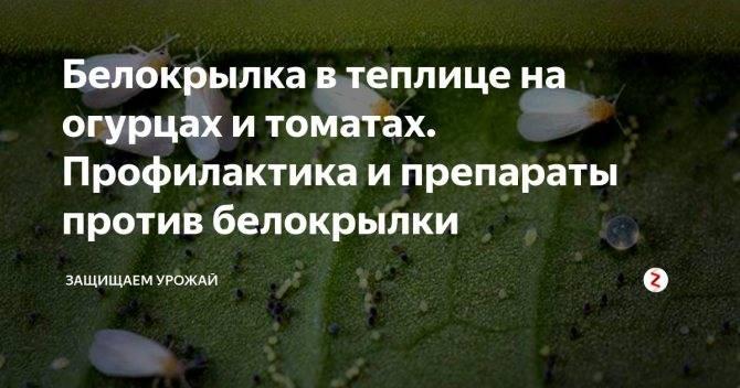 Белокрылка в теплице: как избавиться, методы борьбы и народные средства русский фермер