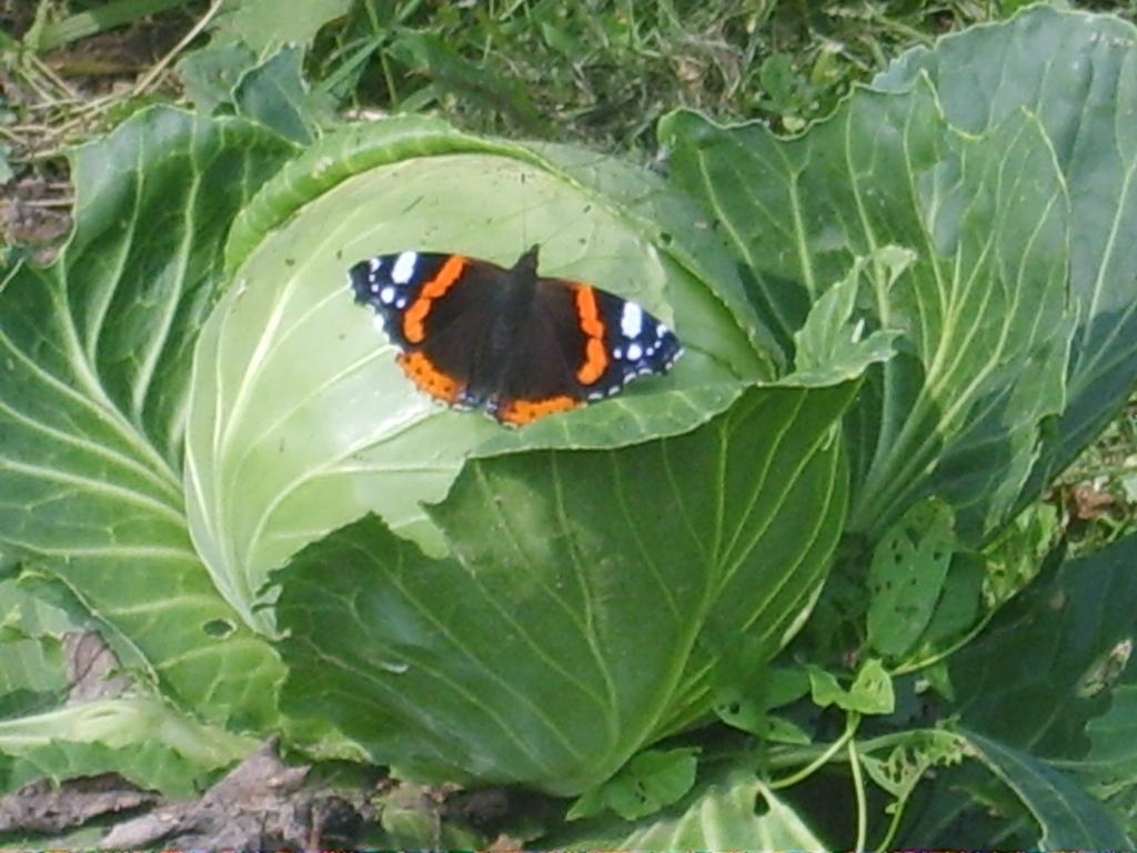 Чем опрыскать и как отпугнуть бабочек белянок от капусты
