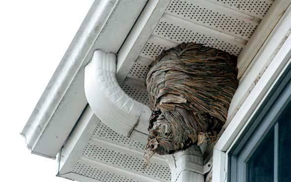 Завелись осы на балконе, как избавится от гнезда