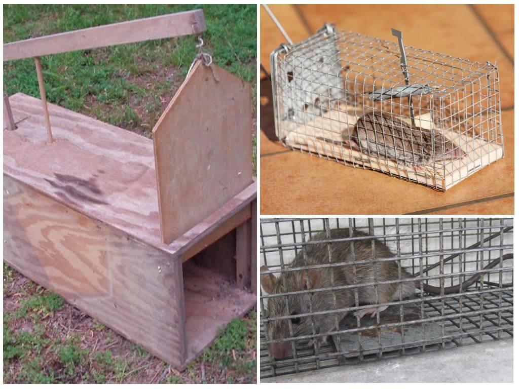 Как избавиться от крыс и мышей в курятнике: рекомендации, фото и видео