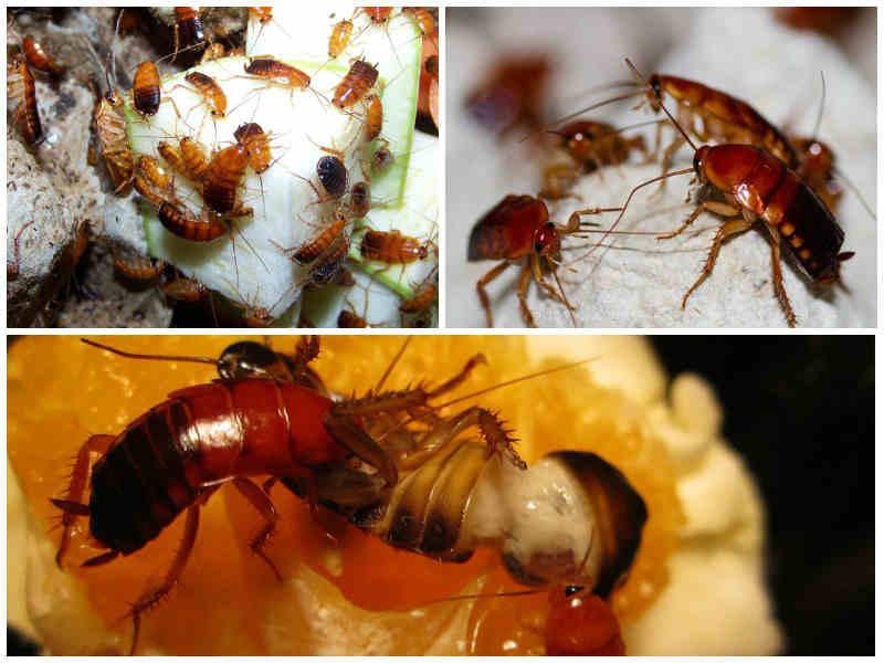 Туркменские тараканы - разведение и питание