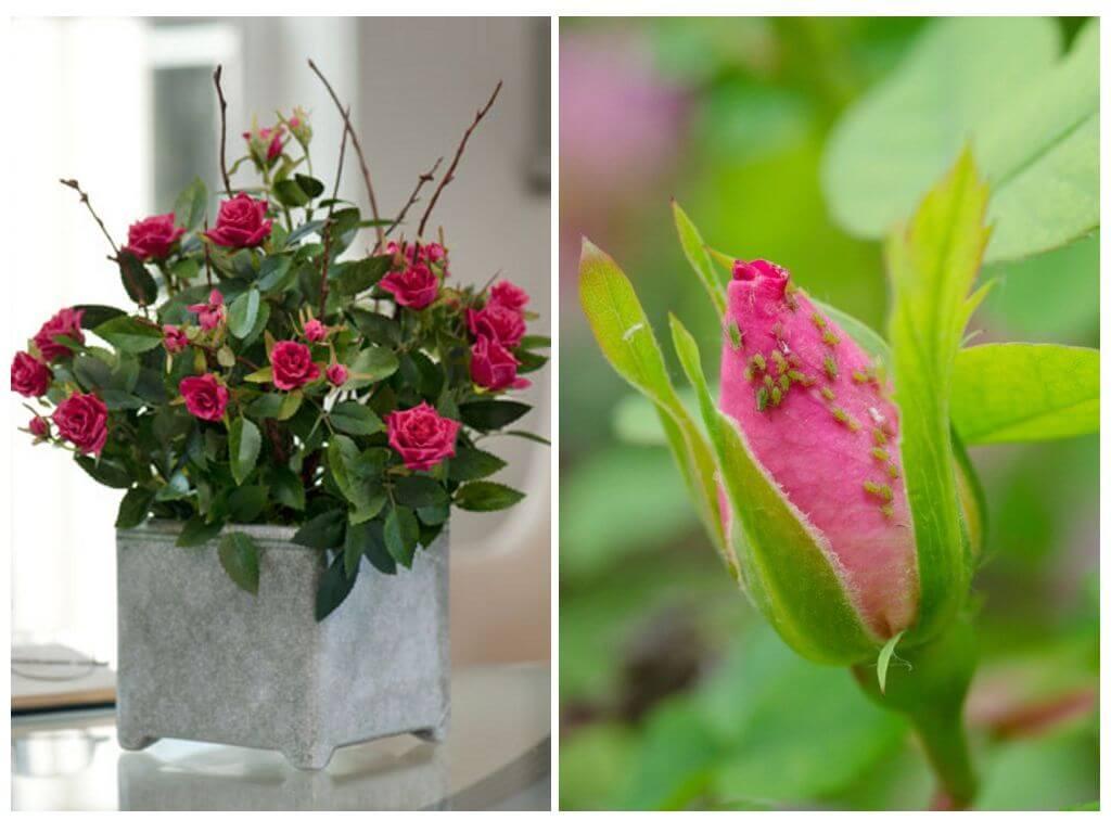 Чем лучше обработать розы от тли, описание средств и методов борьбы с вредителем