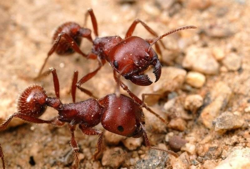 Самые большие муравьи в мире: какой размер, какие вторые по крупности?